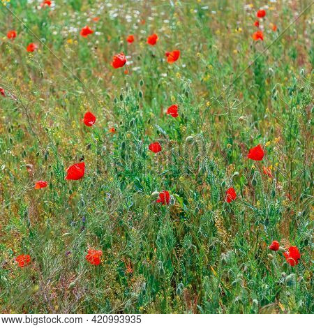 Blooming Poppy. Beautiful Field With Blooming Poppies As Symbol Of Memory War And Anzac Day In Summe