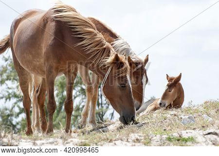 The Close View Of Horses With A Foal In A Wilderness On Grand Turk Island (turks And Caicos Islands)