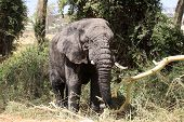 old elephant bull coming out of the swamp in Ngorongoro crater Tanzania poster