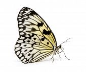 Idea leuconoe butterfly in front of a white background poster