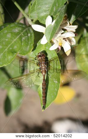Dragonfly on a Leaf