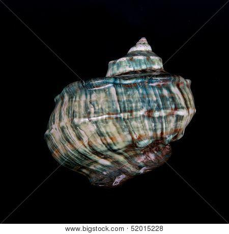 Blue sea shell on dark background, Ocean marine seashell close up isolated in dark background,marine