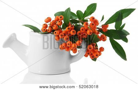 Pyracantha Firethorn orange berries with green leaves, in vase isolated on white poster