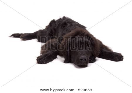 poster of beautiful newfoundland dog about 1 year old