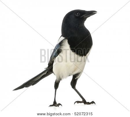 Common Magpie, Pica pica, isolated on white