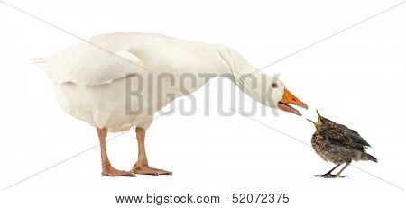 Side view of a Domestic goose and a Common Blackbird facing each other, communicating, isolated on white