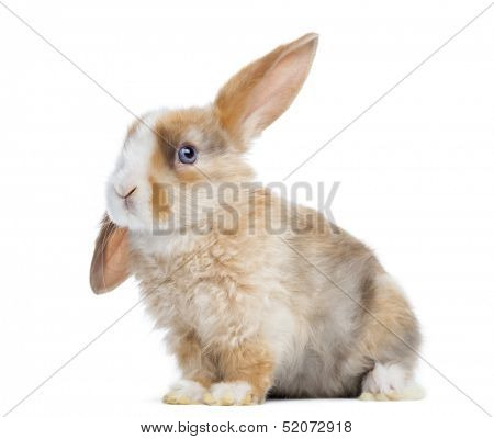 Satin Mini Lop rabbit ear up, sitting isolated on white