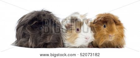 Three Peruvian Guinea Pig in a row, isolated on white