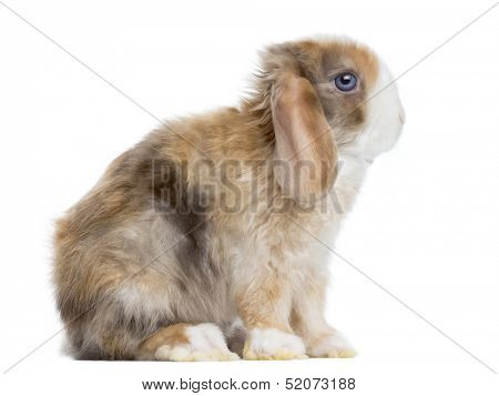 Side view of a Satin Mini Lop rabbit sitting, isolated on white