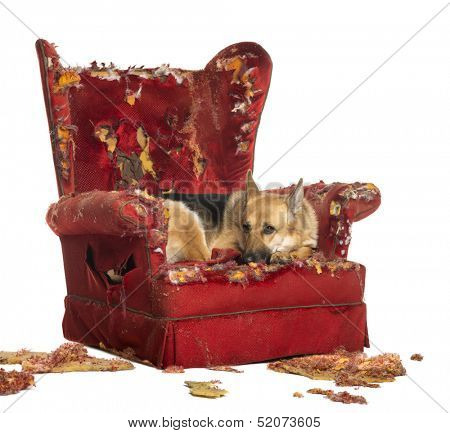 German Sheperd looking dipressed on a destroyed armchair, isolated on white