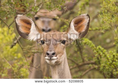 Two Kudu In The Bush