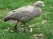 cape barren goose taking a stroll poster