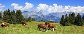 Panoramic view of french Alps with cows poster