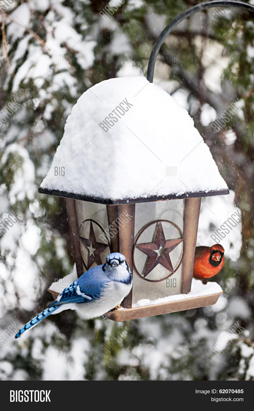 Blue Jay Cardinal Image Photo Free Trial Bigstock