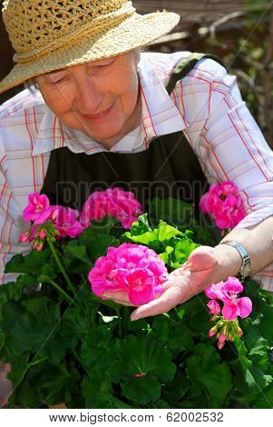 Senior woman with a pot of geranuim flowers in her garden, focus on hand and flowers