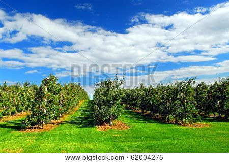 Apple orchard with red ripe apples on the trees under blue sky