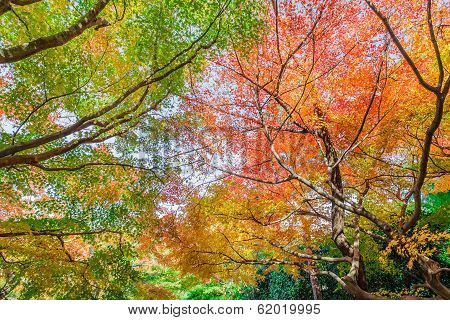 Red Maple Leaves In Autumn At Ryoanji Temple In Kyoto