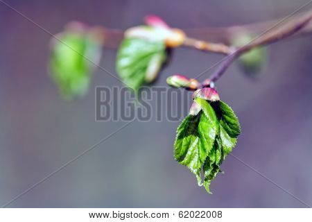 Branch With Buds And Leaves In Spring