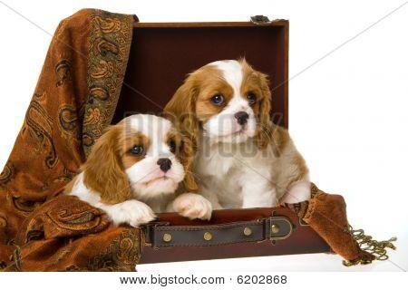 2 Cute Cavalier King Charles Spaniel puppies