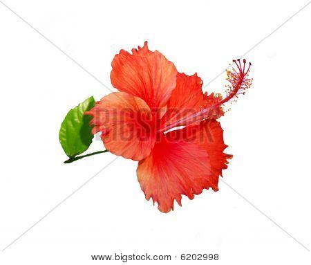 Chinese Hibisci Rosae-Sinensis Flower