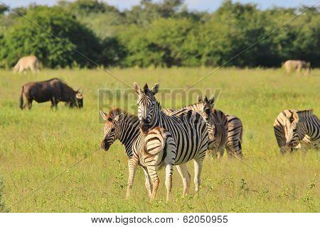 Zebra Background - Wildlife from Africa - Motherly Instinct