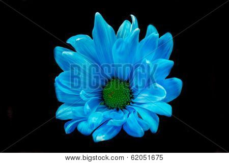 Blue Gerber Daisy