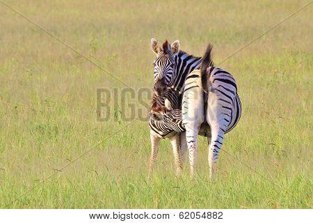 Zebra Background - Wildlife from Africa - New Life