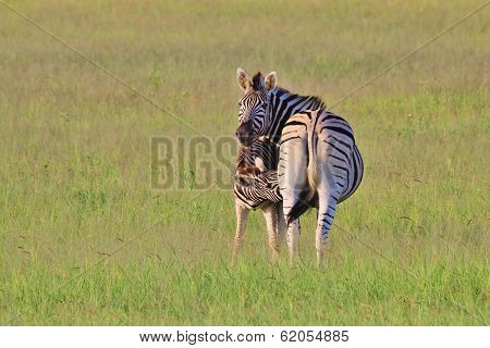 Zebra Background - Wildlife from Africa - Suckle of New Life