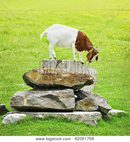 Cute goat standing on rocks looking down poster