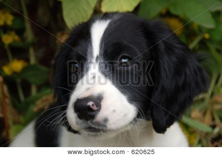 English springer spaniel puppy about nine weeks old with cute black and white face poster