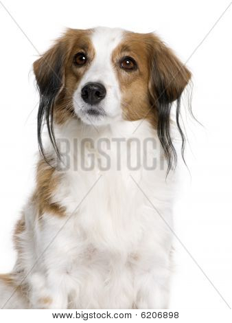 Kooikerhondje Dog, 7 Years Old, In Front Of White Background