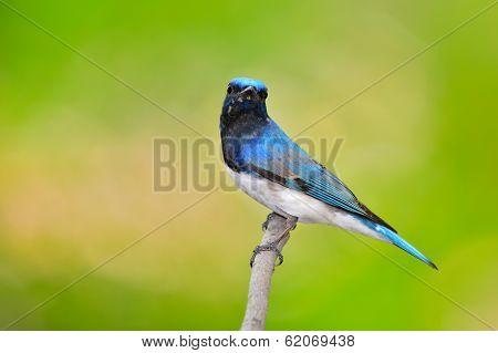Blue And White Flycatcher Bird