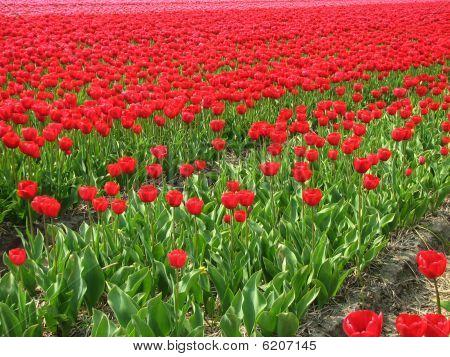 niederländische Tulpen im Frühjahr
