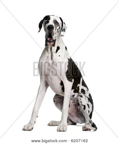 Arlequin Great Dane, Sitting In Front Of White Background