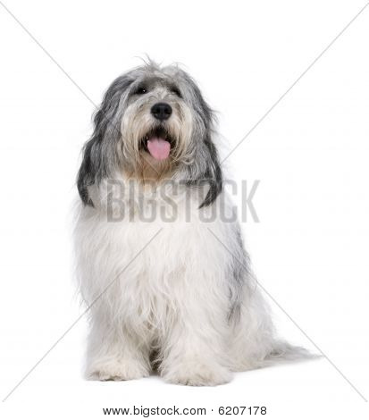Polish Lowland Sheepdog, Sitting In Front Of White Background