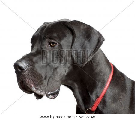 Great Dane, 11 Months Old, In Front Of White Background