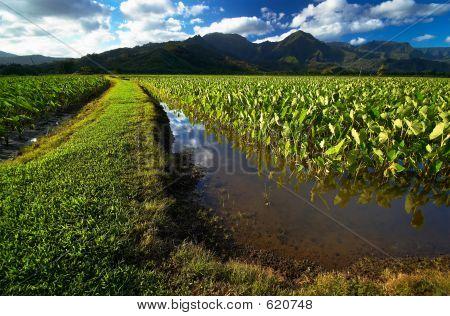 Path In Taro Fields