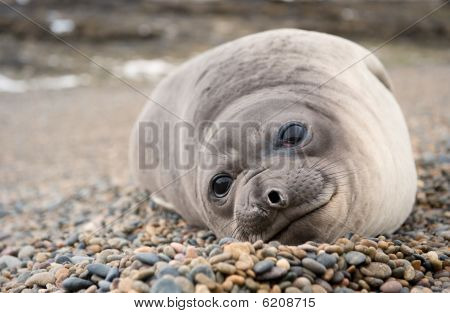 Cute Baby Elephant Seal, Valdes Peninsula.
