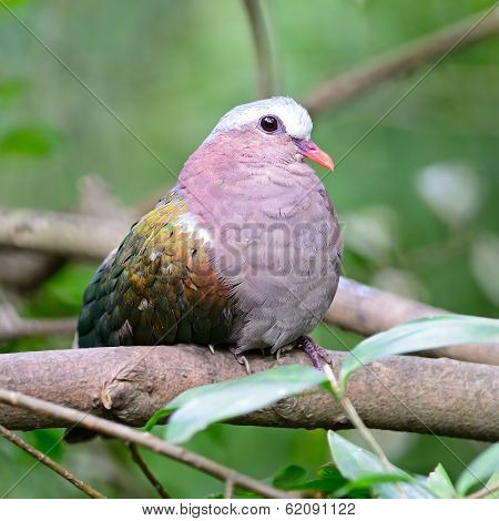 Beautiful green bird, a female Emerald Dove (Chalcophaps indica), sitting on a branch poster