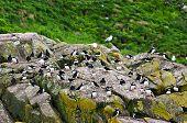 Puffin birds on rocky island in Newfoundland, Canada poster