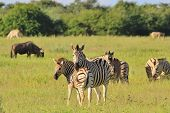 Zebra (Burchell's) as photographed in the wilds of Africa. poster