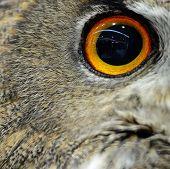 Closeup eye of beautiful Eurasian Eagle Owl poster