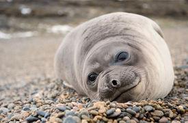 Cute Baby Elephant Seal, Valdes Peninsula.