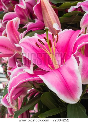 Petals, stigma and anthers of a pink orange lily