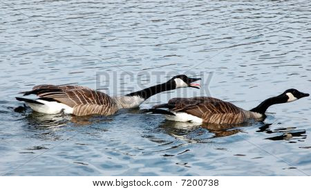 Angry Canada geese chasing after others in river poster