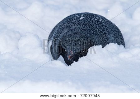 Adelie Penguin Who Hid From The Wind In The Snow