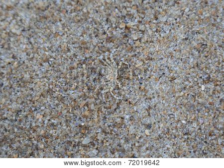 camouflaged juvenile ghost crab blending into the sand