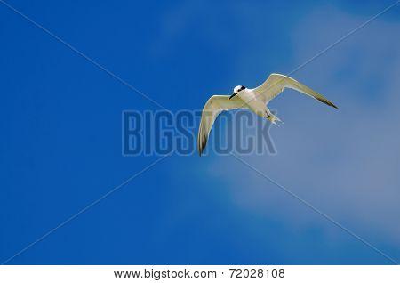 Sandwich Tern Flying