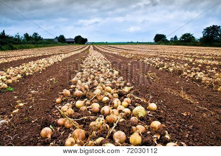 Onion after harvest in line on an agricultural field