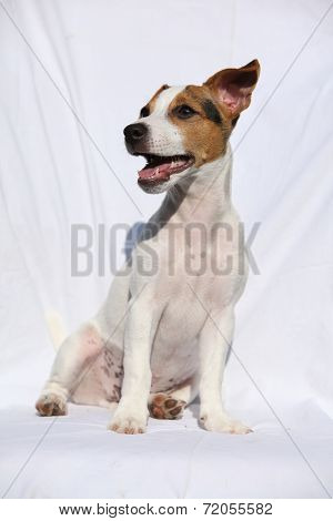 Gorgeous Jack Russell Terrier Sitting
